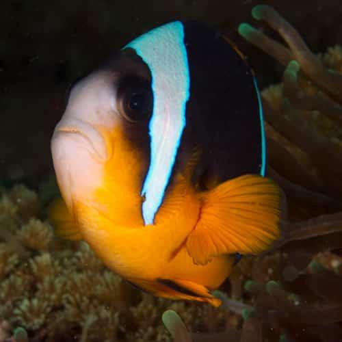 Clow Fish